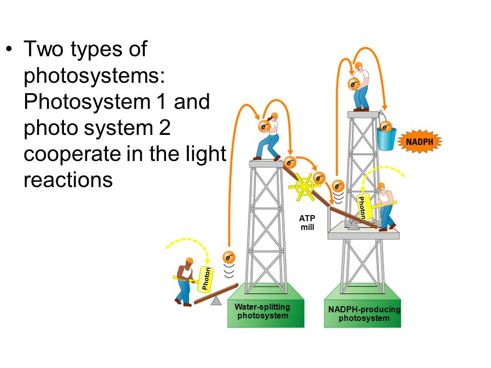 Two types of photosystems: Photosystem 1 and photo system 2 cooperate in the light reactions
