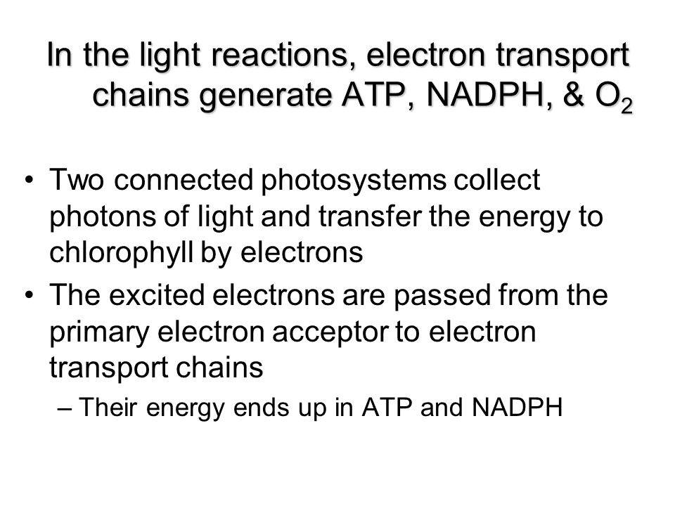 In the light reactions, electron transport chains generate ATP, NADPH, & O2