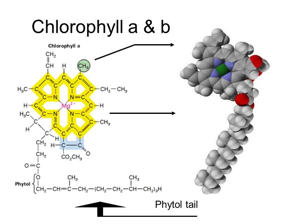 Chlorophyll a & b Chl a has a methyl group Chl b has a carbonyl group