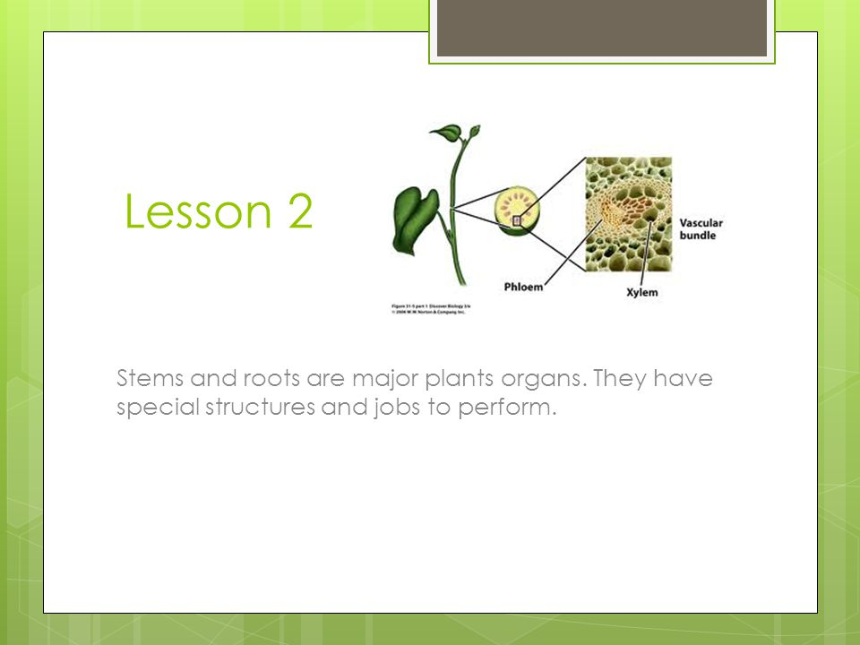 Lesson 2 Stems and roots are major plants organs. They have special structures and jobs to perform.