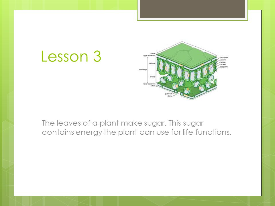 Lesson 3 The leaves of a plant make sugar.