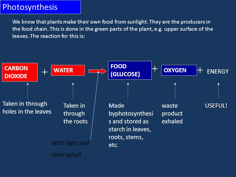 + + Photosynthesis FOOD (GLUCOSE) OXYGEN ENERGY WATER CARBON DIOXIDE