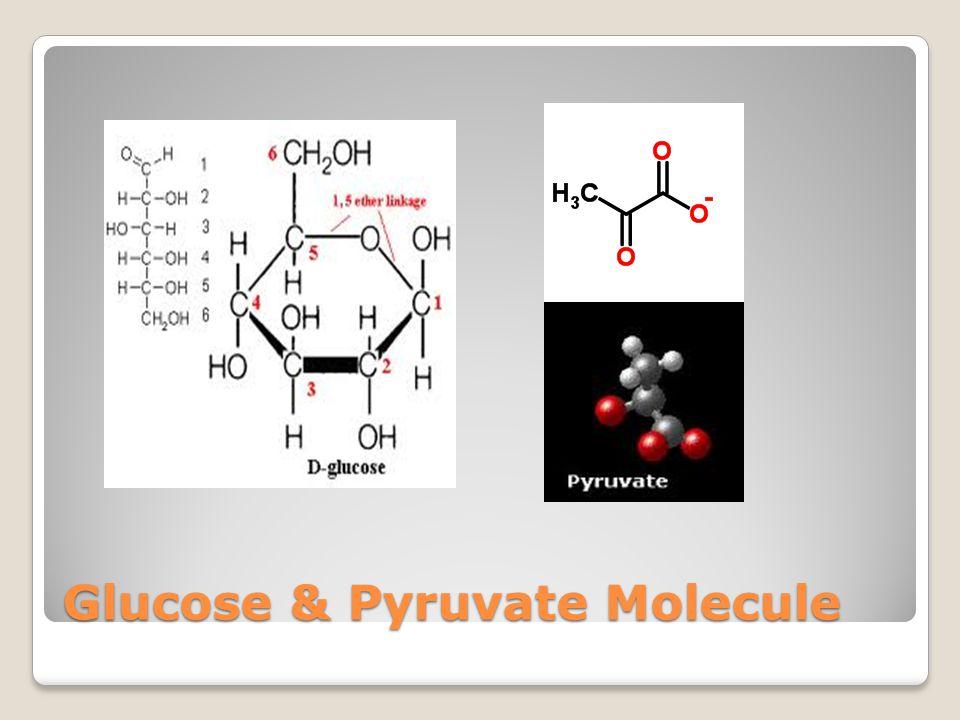 Glucose & Pyruvate Molecule
