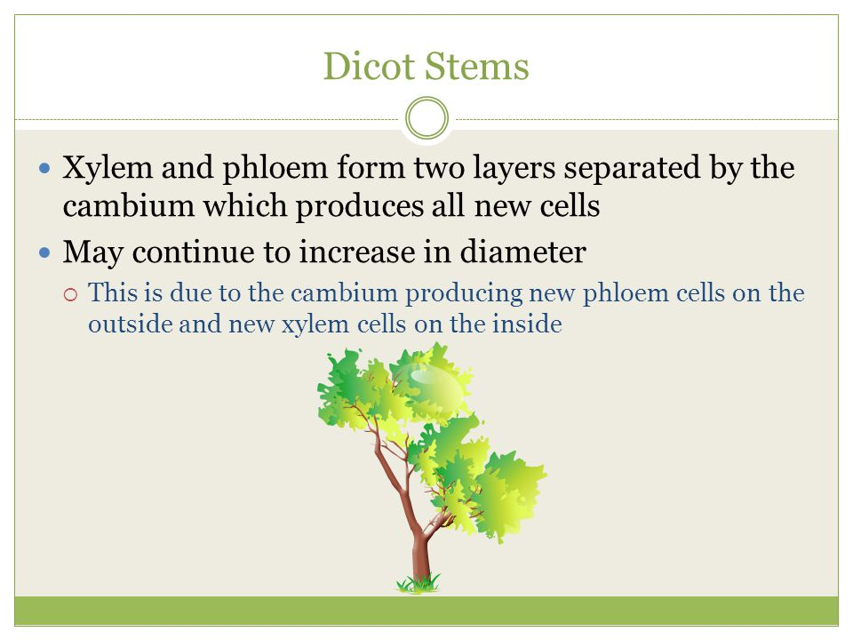 Dicot Stems Xylem and phloem form two layers separated by the cambium which produces all new cells.
