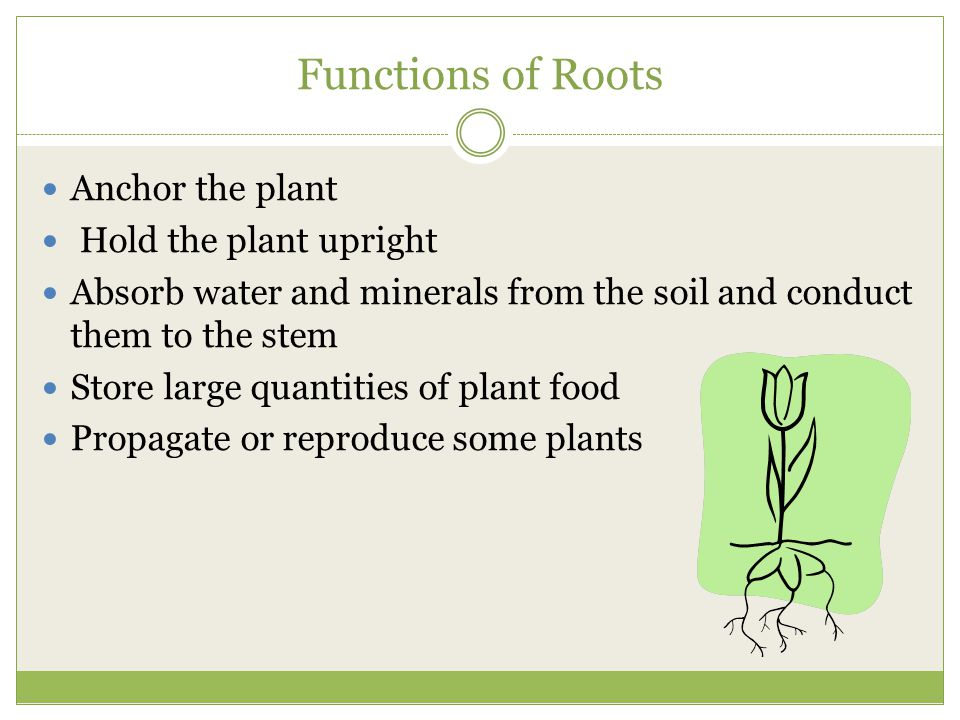 Functions of Roots Anchor the plant Hold the plant upright