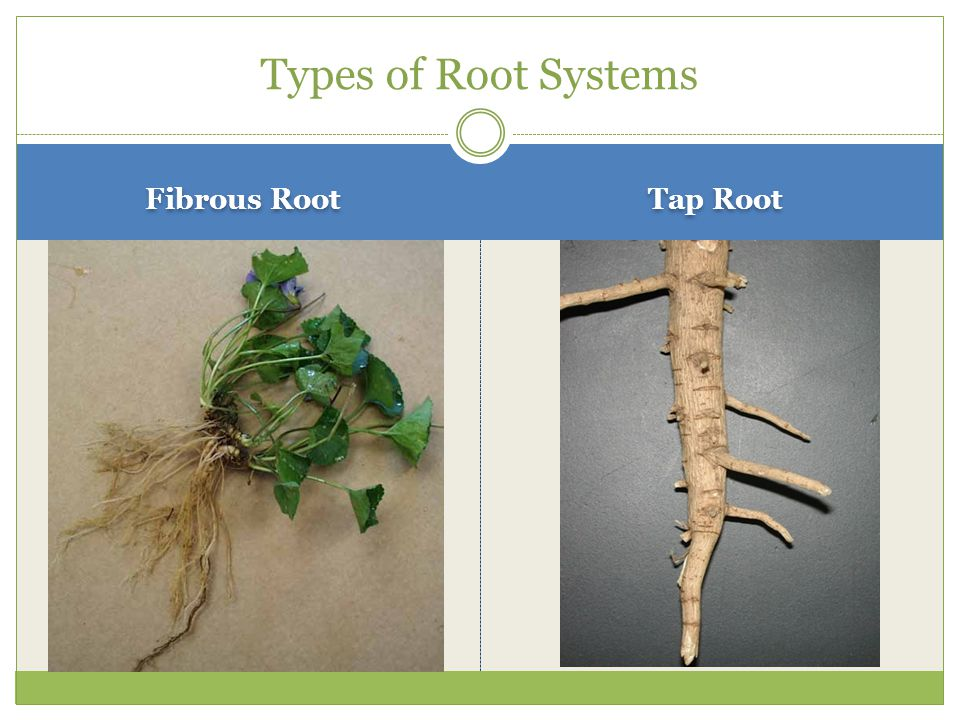 Types of Root Systems Fibrous Root Tap Root