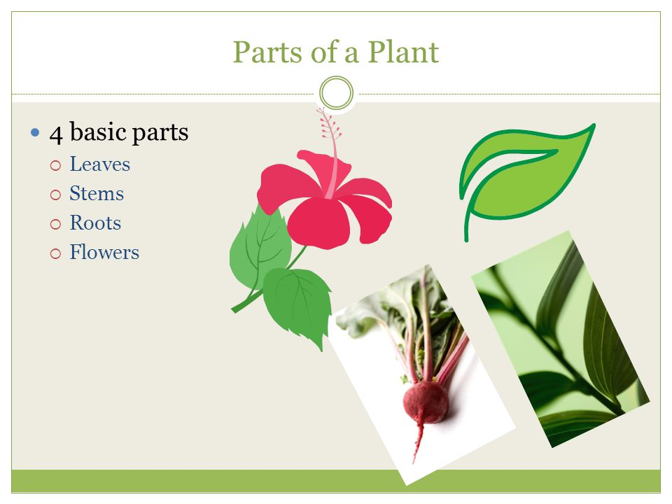 Parts of a Plant 4 basic parts Leaves Stems Roots Flowers