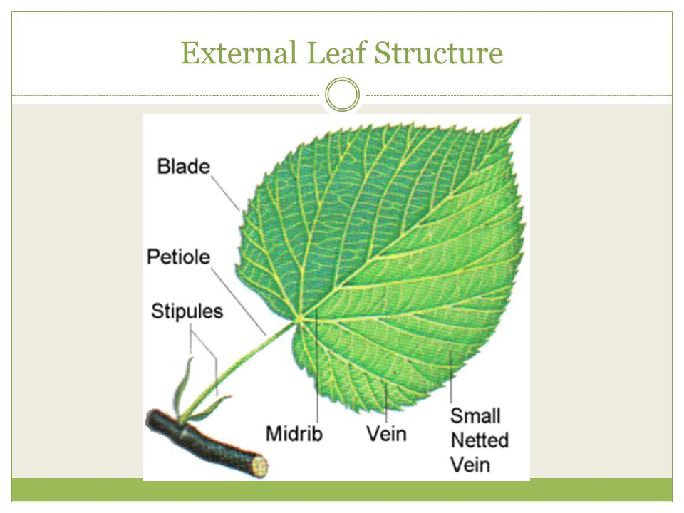 parts of a leaf related keywords parts of a leaf long