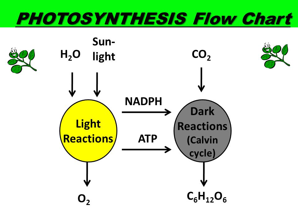 photosynthesis cycle steps Photosynthesis and cellular respiration are among the most important concepts on how to remember the steps of photosynthesis specifically the calvin cycle.