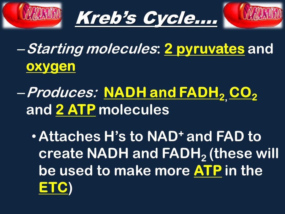 Kreb's Cycle…. Starting molecules: 2 pyruvates and oxygen