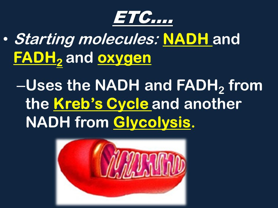 ETC…. Starting molecules: NADH and FADH2 and oxygen