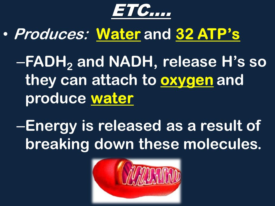 ETC…. Produces: Water and 32 ATP's