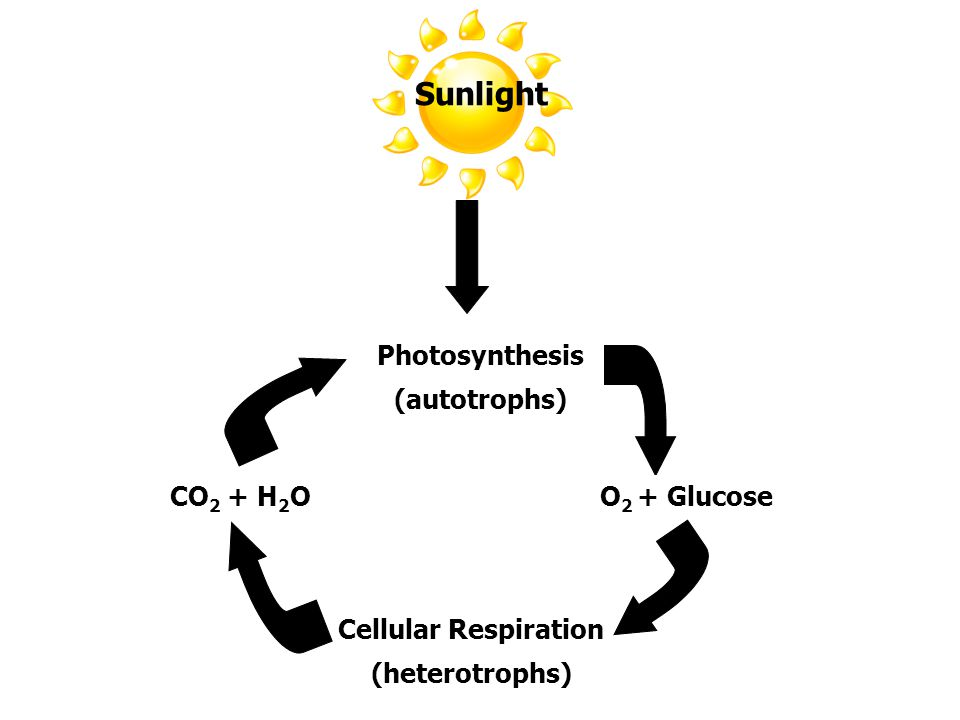 Sunlight Photosynthesis (autotrophs) O2 + Glucose CO2 + H2O