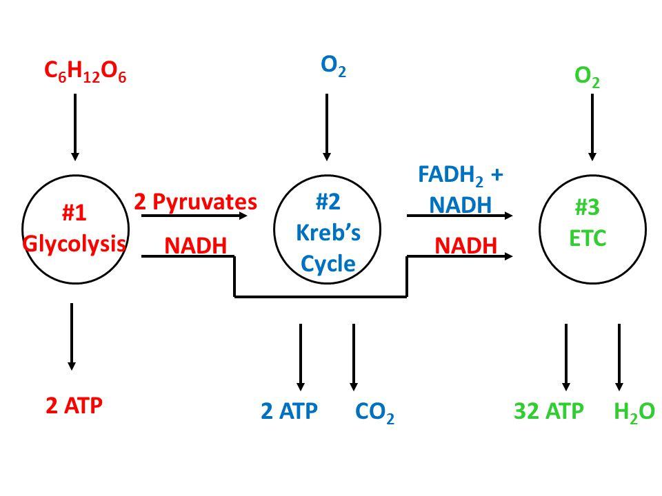 O2 C6H12O6. O2. FADH2 + NADH. 2 Pyruvates. #2. Kreb's. Cycle. #3. ETC. #1. Glycolysis. NADH.