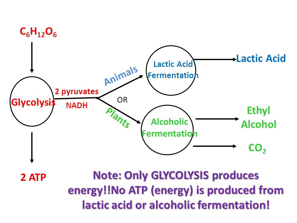 C6H12O6 OR. Lactic Acid. Lactic Acid. Fermentation. Animals. 2 pyruvates. NADH. Glycolysis. Ethyl Alcohol.