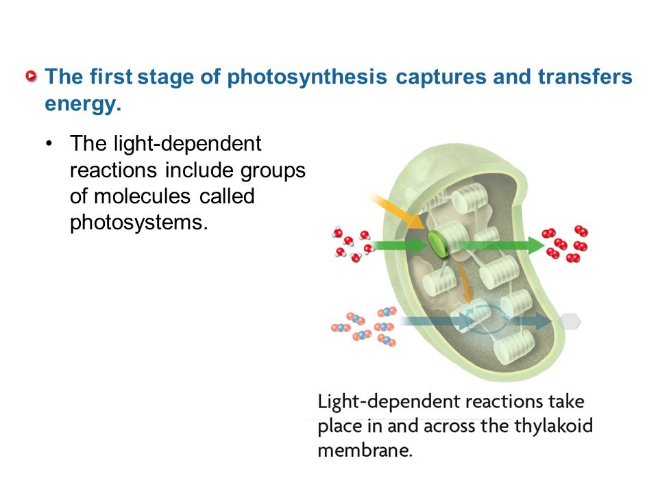 The first stage of photosynthesis captures and transfers energy.