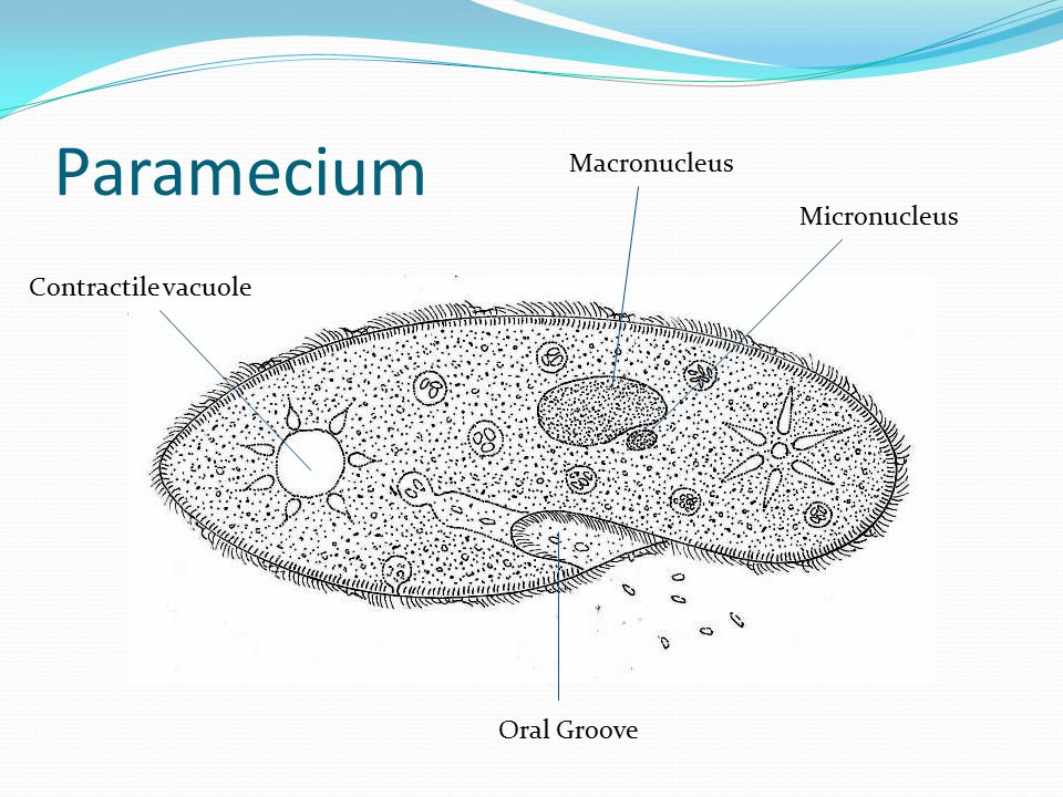 Paramecium Macronucleus Micronucleus Contractile vacuole Oral Groove