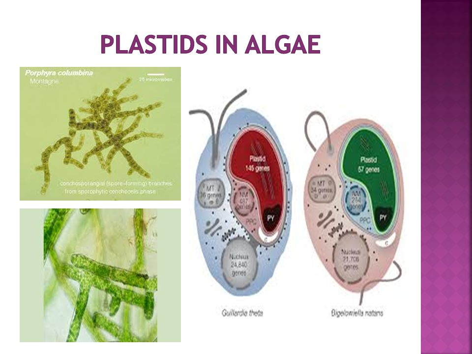 Plastids in Algae