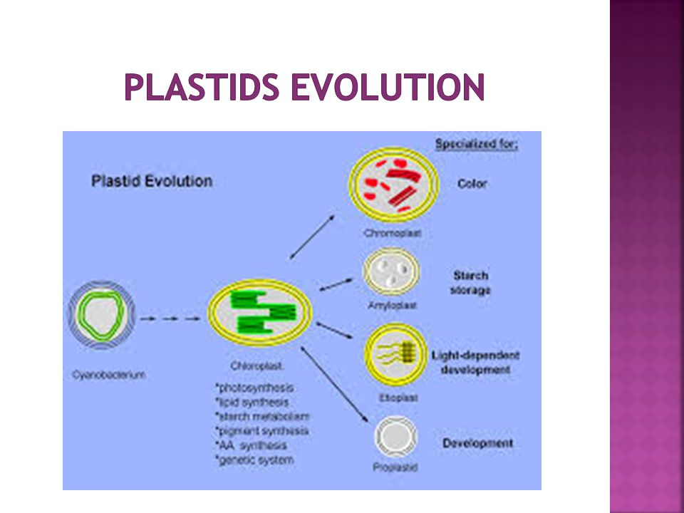 Plastids evolution