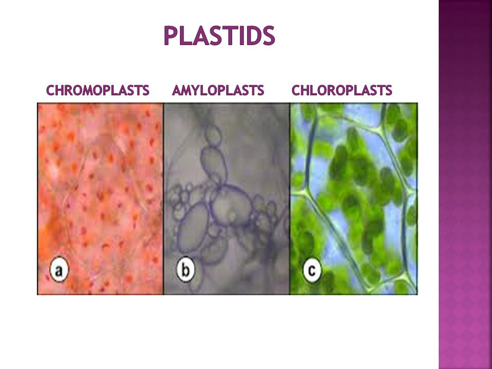 Plastids chromoplasts amyloplasts chloroplasts
