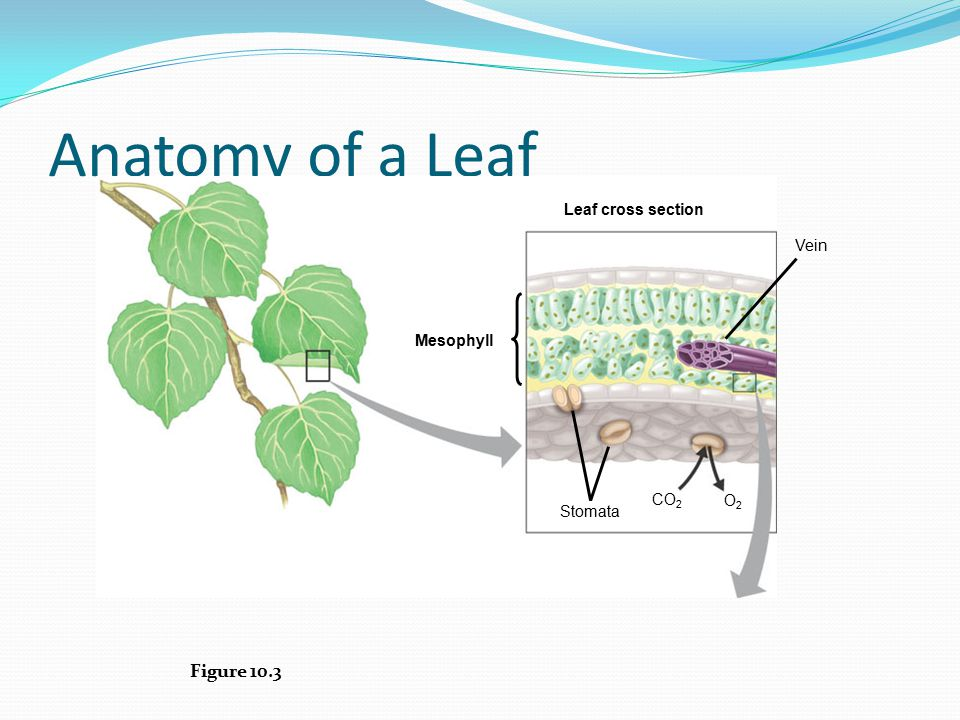 Anatomy of a Leaf Figure 10.3 Leaf cross section Vein Mesophyll CO2 O2