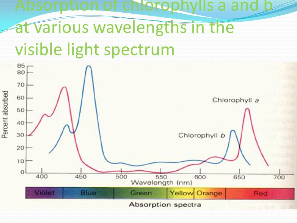 Absorption of chlorophylls a and b at various wavelengths in the visible light spectrum