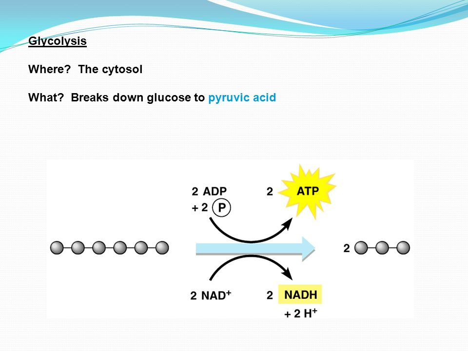 Glycolysis Where The cytosol What Breaks down glucose to pyruvic acid