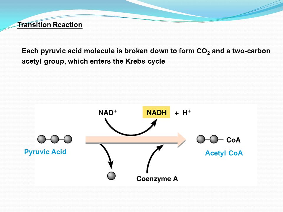 Transition Reaction Each pyruvic acid molecule is broken down to form CO2 and a two-carbon acetyl group, which enters the Krebs cycle.