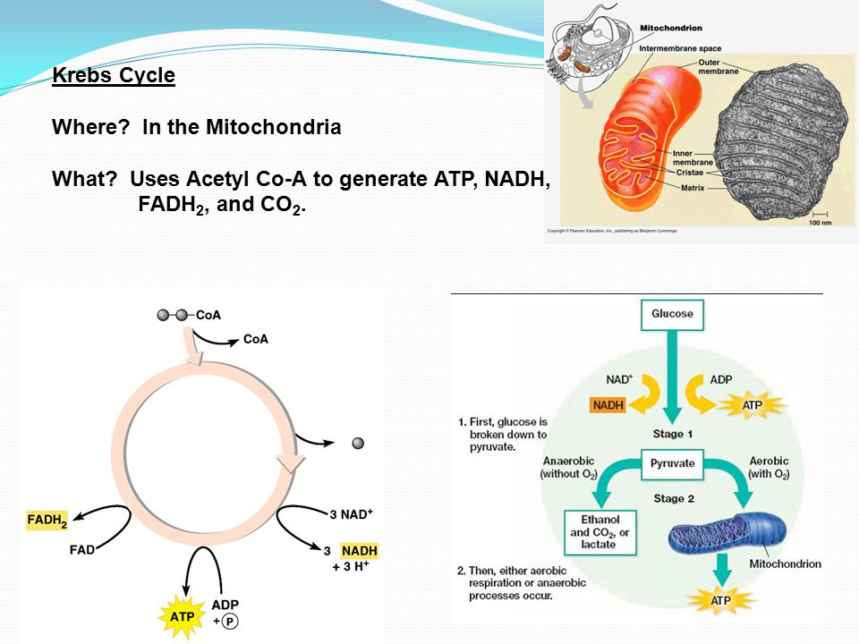 Krebs Cycle Where. In the Mitochondria. What.