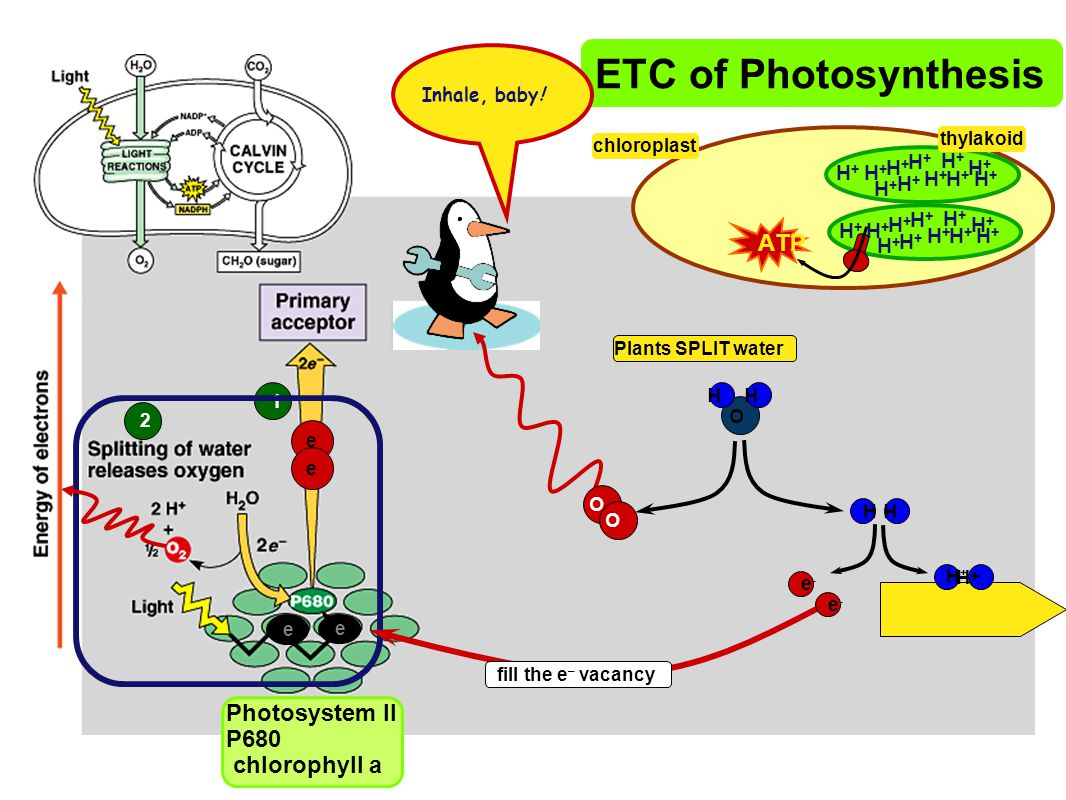 ETC of Photosynthesis ATP Photosystem II P680 chlorophyll a H+ H+