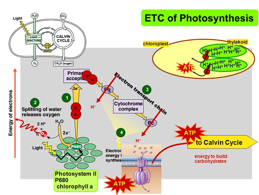 ETC of Photosynthesis to Calvin Cycle ATP ATP