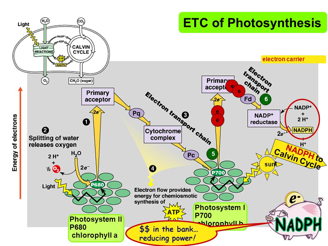 ETC of Photosynthesis NADPH to Calvin Cycle