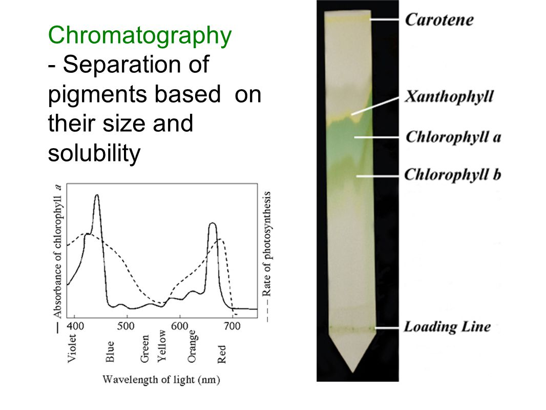 Chromatography - Separation of pigments based on their size and solubility