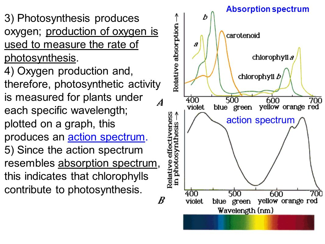 Absorption spectrum 3) Photosynthesis produces oxygen; production of oxygen is used to measure the rate of photosynthesis.