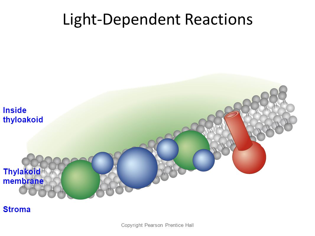 light dependent reactions essay Photosynthesis review 1 light-dependent reactions overview: 1 circle the letter of each sentence that is true about the light-dependent reactions.