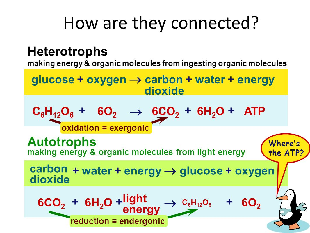 How are they connected Heterotrophs  Autotrophs 