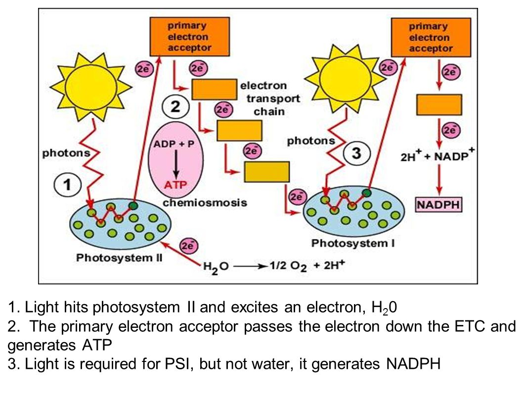 1. Light hits photosystem II and excites an electron, H20