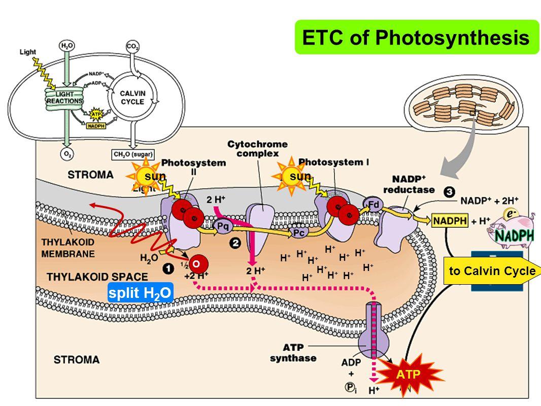 ETC of Photosynthesis split H2O sun sun to Calvin Cycle ATP e e H+ O