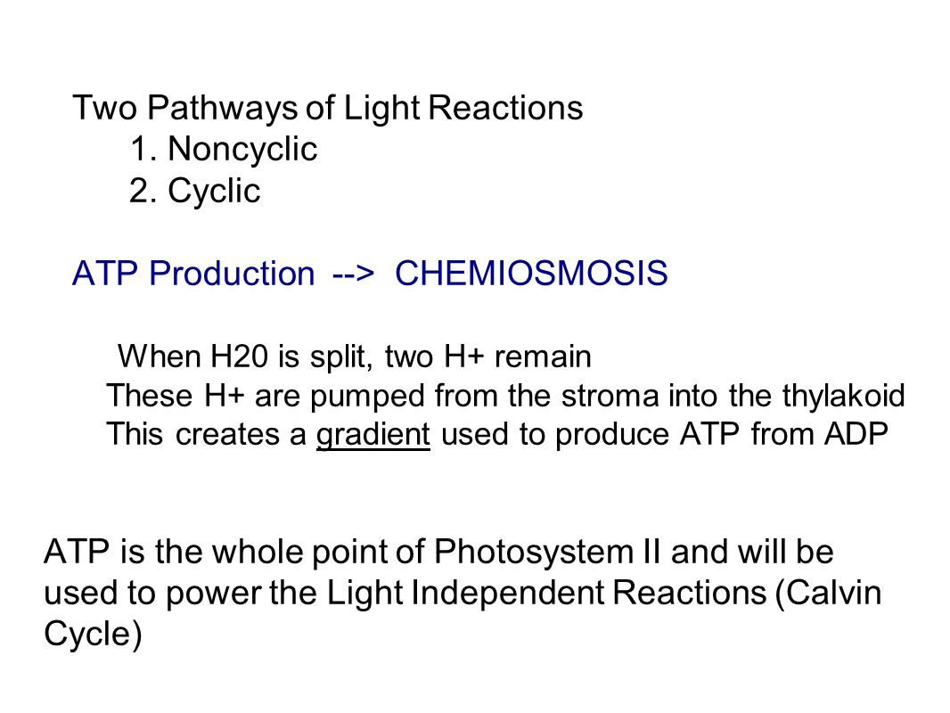 Two Pathways of Light Reactions 1. Noncyclic 2. Cyclic