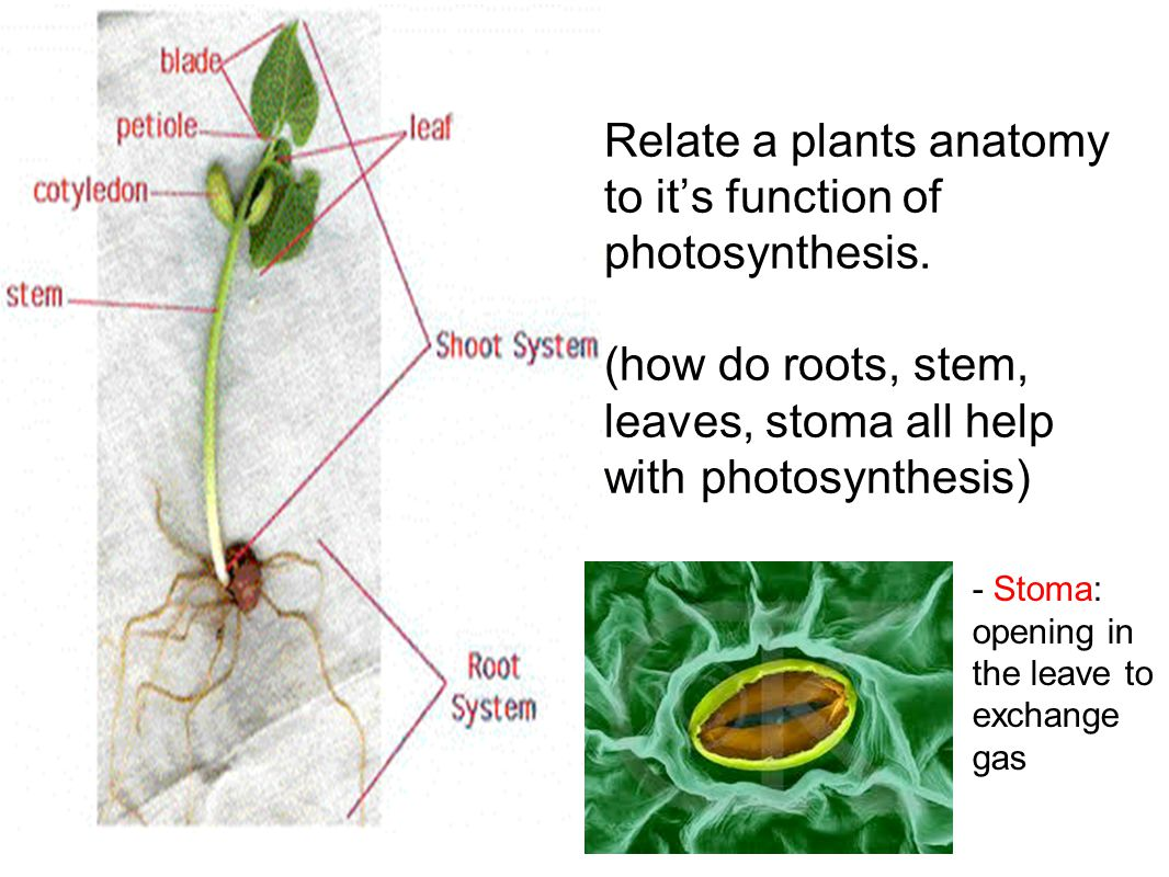Relate a plants anatomy to it's function of photosynthesis.