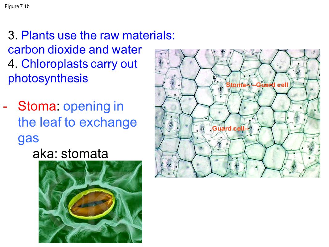 Stoma: opening in the leaf to exchange gas