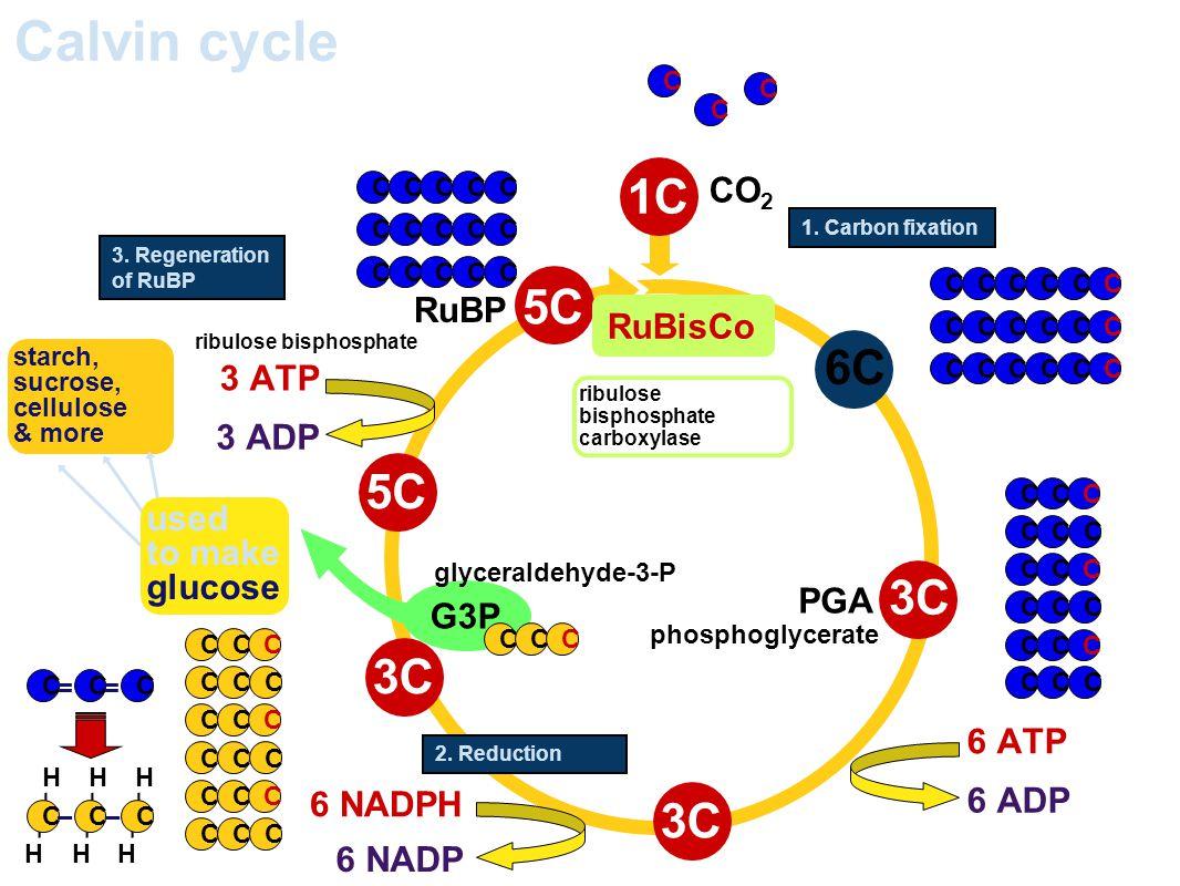 Calvin cycle 1C 5C 6C 5C 3C 3C 3C CO2 RuBP RuBisCo 3 ATP 3 ADP used