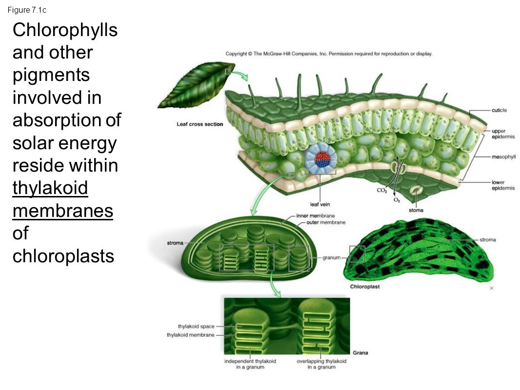 Figure 7.1c Chlorophylls and other pigments involved in absorption of solar energy reside within thylakoid membranes of chloroplasts.