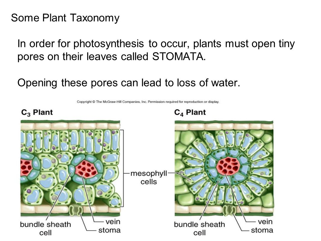 Some Plant Taxonomy In order for photosynthesis to occur, plants must open tiny pores on their leaves called STOMATA.