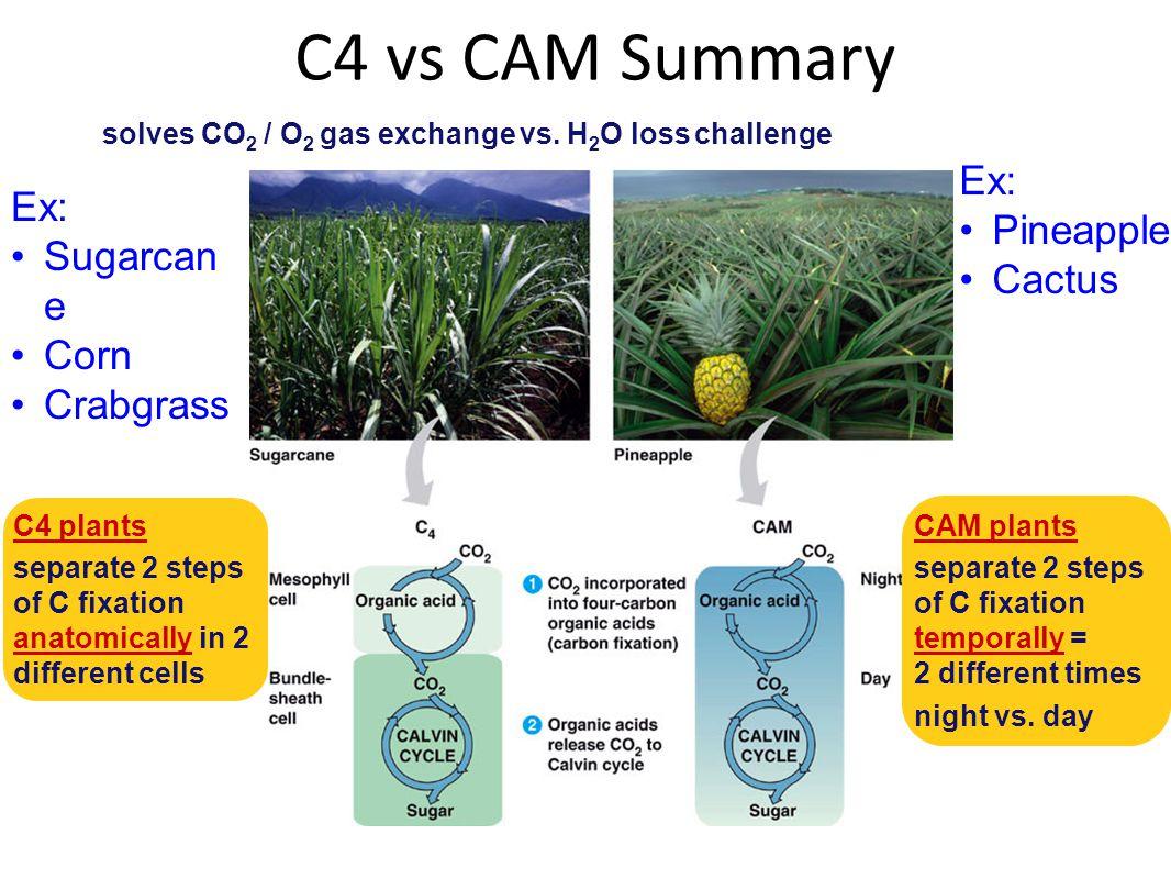 C4 vs CAM Summary Ex: Ex: Pineapple Sugarcane Cactus Corn Crabgrass
