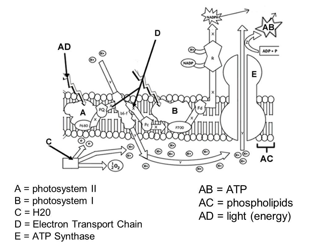 AB = ATP AC = phospholipids AD = light (energy)