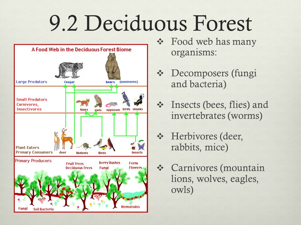 9.2 Deciduous Forest Food web has many organisms: