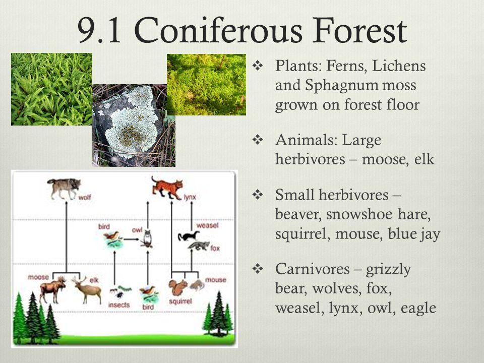 9.1 Coniferous Forest Plants: Ferns, Lichens and Sphagnum moss grown on forest floor. Animals: Large herbivores – moose, elk.