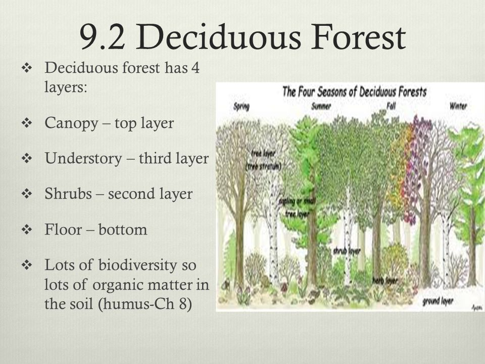 9.2 Deciduous Forest Deciduous forest has 4 layers: Canopy – top layer