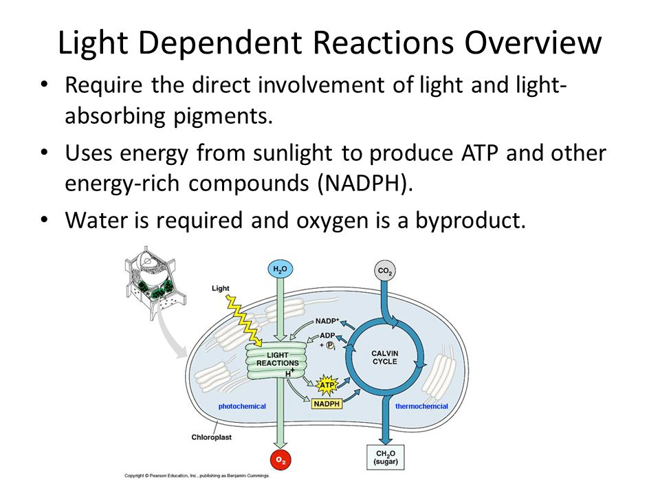 Light Dependent Reactions Overview